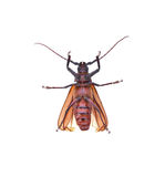 Insescts-Long-horned beetle on white background. stock photo