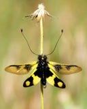 Inseto amarelo Imagem de Stock