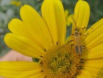 Inseto amarelo na flor amarela imagens de stock royalty free