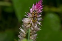 Inseto da abelha do pairo Fotos de Stock Royalty Free