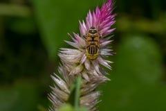 Inseto da abelha do pairo Imagens de Stock Royalty Free