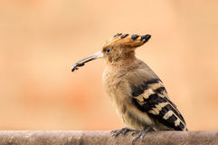 Inseto da captura do Hoopoe Fotos de Stock