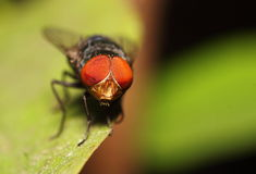 Inseto da mosca Imagens de Stock