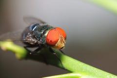 Inseto da mosca Imagem de Stock Royalty Free