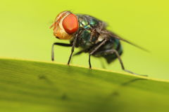 Inseto da mosca Foto de Stock Royalty Free
