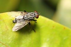 Inseto da mosca Fotografia de Stock Royalty Free