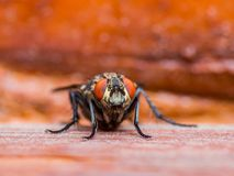 Inseto da mosca do díptero no fundo vermelho Imagens de Stock