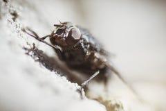 Inseto doméstico da mosca foto de stock
