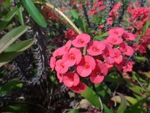 Inseto em flores vermelhas da planta de christ fotografia de stock royalty free