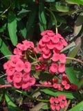 Inseto em flores vermelhas da planta de christ imagens de stock
