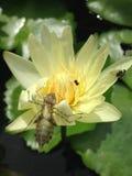 Inseto em Lotus Imagem de Stock
