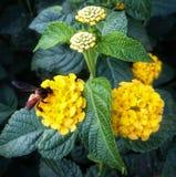 Inseto em uma flor Imagem de Stock Royalty Free