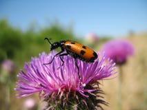 Inseto em uma flor Foto de Stock Royalty Free
