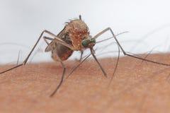 Inseto humano do caçador do sangue do mosquito fotos de stock