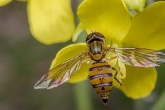 Inseto minúsculo do balteatus do episyrphus em uma flor da prímula foto de stock