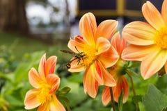 Inseto na flor Imagem de Stock Royalty Free