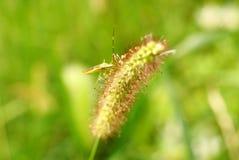 Inseto na grama de cerda verde 2 imagem de stock royalty free