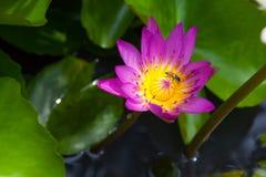 Inseto no carpelo amarelo da flor de lótus roxa bonita Imagens de Stock Royalty Free