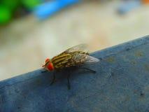 Inseto pequeno da mosca fotografia de stock royalty free