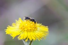 Inseto pequeno da mosca em uma flor do Tussilago Farfara do coltsfoot fotos de stock royalty free