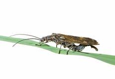 Inseto (Plecoptera) 1 Fotografia de Stock Royalty Free