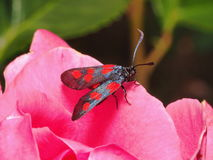 Inseto preto na flor cor-de-rosa Foto de Stock Royalty Free