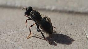 Inseto preto pequeno que limpa suas antenas e asas filme