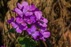 Inseto que visita flores roxas Foto de Stock