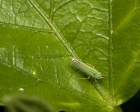 Inseto verde do leafhopper em uma folha imagens de stock royalty free