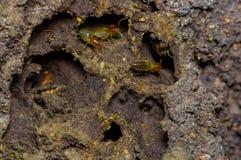 Insetos das térmitas na colônia sobre a madeira dentro da floresta úmida de amazon no parque nacional de Cuyabeno, em Equador Fotos de Stock Royalty Free