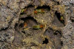 Insetos das térmitas na colônia sobre a madeira dentro da floresta úmida de amazon no parque nacional de Cuyabeno, em Equador Foto de Stock Royalty Free