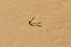 Insetos de rastejamento dos escorpião perigosos do artrópode na areia imagens de stock royalty free