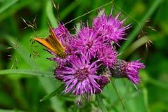 Insetos na borboleta selvagem em uma bardana da flor Imagem de Stock Royalty Free