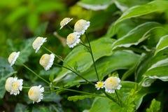 Insetos na planta de Feverfew com as flores amarelas brancas durante o verão fotografia de stock