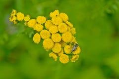 Insetos no tansy das flores Fotografia de Stock Royalty Free