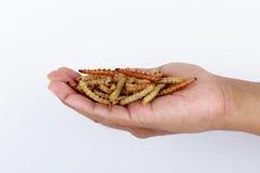 Insetos tailandeses, larvas de farinha fritadas dos insetos para o petisco Imagens de Stock