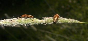 3 insetos vermelhos Fotografia de Stock