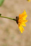 Insetos vermelhos em uma flor amarela Foto de Stock
