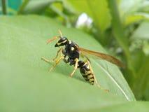 Insetos, vespa, folhas, cores, natureza, amarelo, verde, asa, picando, fotografia, close-up, voo, papel Fotos de Stock