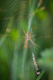 Insetti appostantesi della vespa del ragno nella rete Fotografia Stock Libera da Diritti