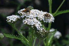 Insetti che si alimentano i fiori di Yarrow Achillea Millefolium fotografia stock libera da diritti