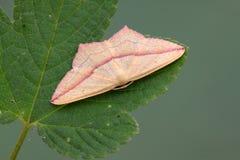 Insetti dei lepidotteri Fotografia Stock Libera da Diritti