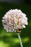 Insetti del fiore della cipolla Fotografia Stock Libera da Diritti