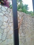 Insetti del mantide di Brown, Carolina Praying Mantis Fotografie Stock