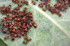 Insetti del pentatomide nel selvaggio Fotografia Stock Libera da Diritti