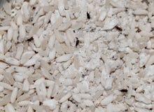 Insetti del riso Immagine Stock Libera da Diritti
