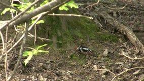 Insetti di caccia del picchio su una terra nella foresta della montagna video d archivio