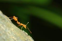 Insetti, formiche Fotografia Stock