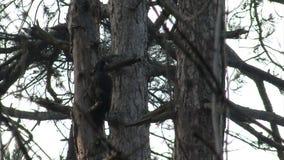 Insetti neri di caccia del picchio nella foresta della montagna del pino stock footage