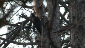 Insetti neri di caccia del picchio nella foresta della montagna del pino video d archivio